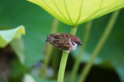 不忍池の蓮に隠れる雀