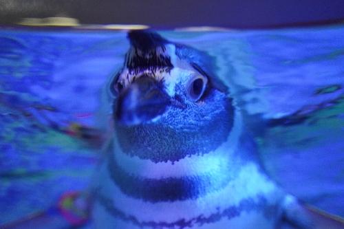 人懐こいペンギン