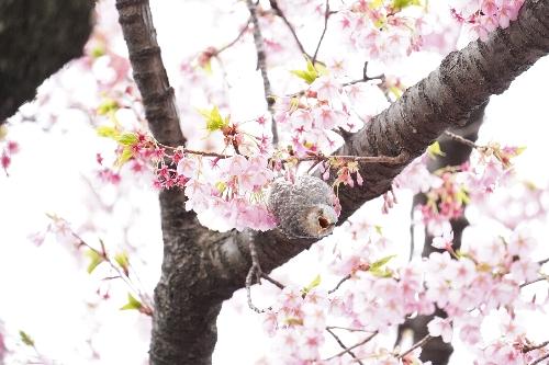 上野公園のメジロ
