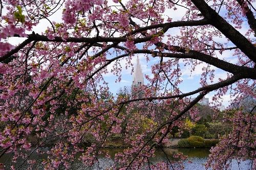 新宿御苑の寒桜とドコモタワー