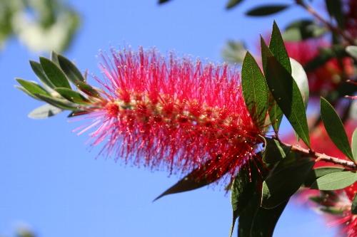 満開の金宝樹(きんぽうじゅ)の花