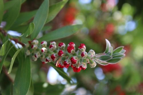 蕾の金宝樹(きんぽうじゅ)の花