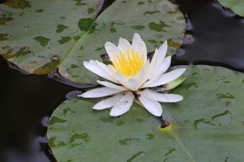 須藤公園の池の睡蓮