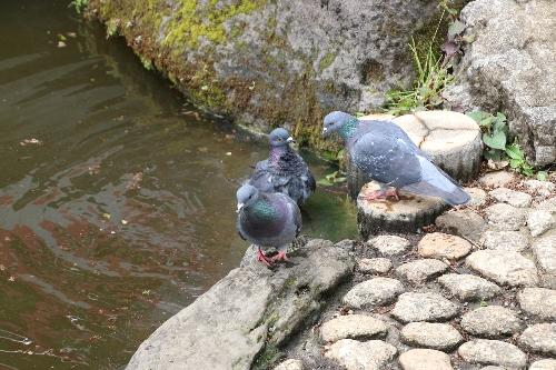 須藤公園の池の鳩