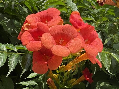 近所に咲く凌霄花の花