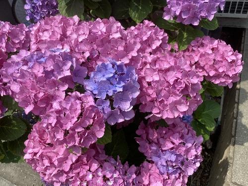 近所に咲く紫陽花の花
