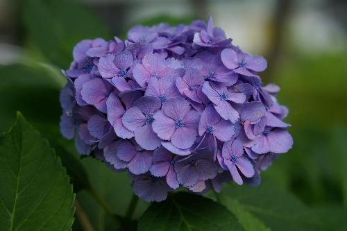 不忍池の紫陽花