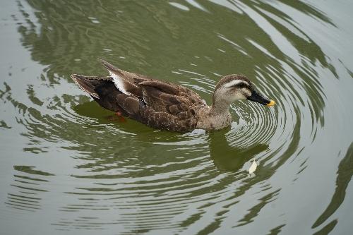 不忍池中の鴨