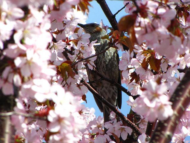 桜2010