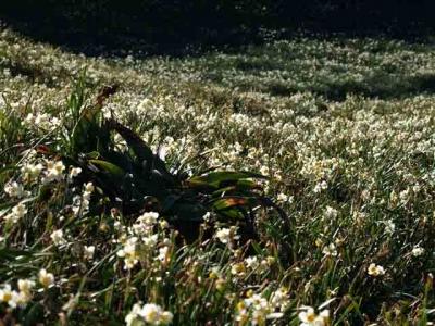 群生する野水仙