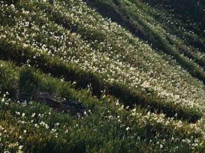 岬の斜面一面、野水仙の花が満開