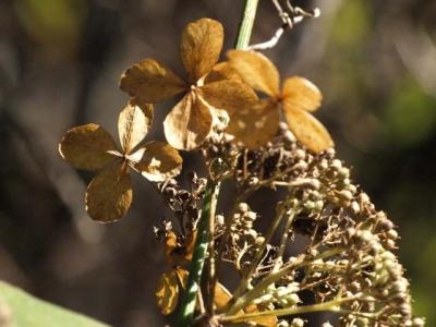 枯れたガクアジサイの花