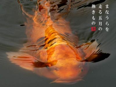 清澄庭園の金の鯉