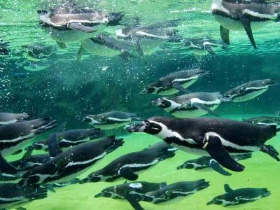餌をもらいに行くペンギン