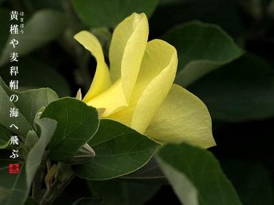 スクリューのようにねじれたハマボウの花