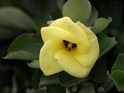 ハマボウの花正面アップ