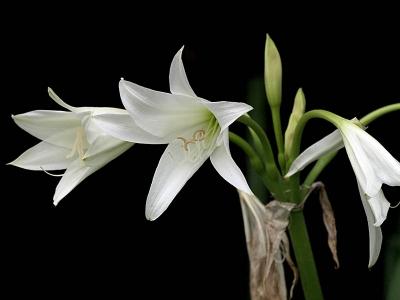 インドハマユウの花