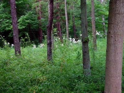 林の中の山百合