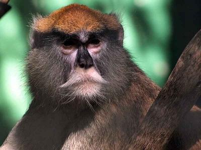 立派な鼻髭の猿
