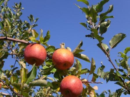 山田のりんご