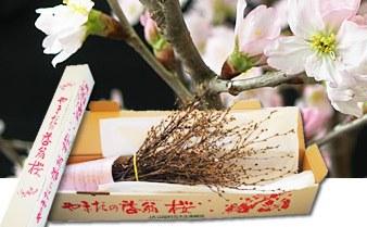 山田村ふるさと会1月便「啓翁桜」