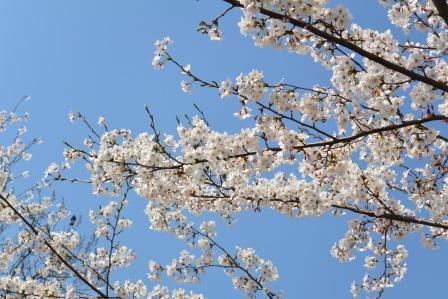 青空に桜♪