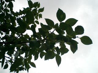 実家の柿の木