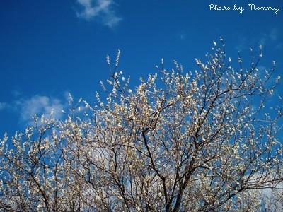 大きな梅の木♪