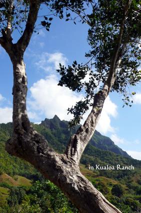 クアロア大きな木から