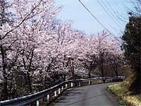 緑水湖の桜