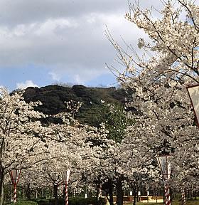 米子市湊山公園の桜