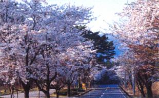 萩原桜並木(烏取県西伯郡大山町羽田井)