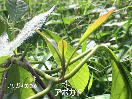 170905_avocado_04_b