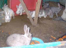まだ小さなウサギ達の小屋