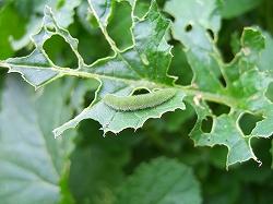 虫も収穫、どんな蝶になるかな