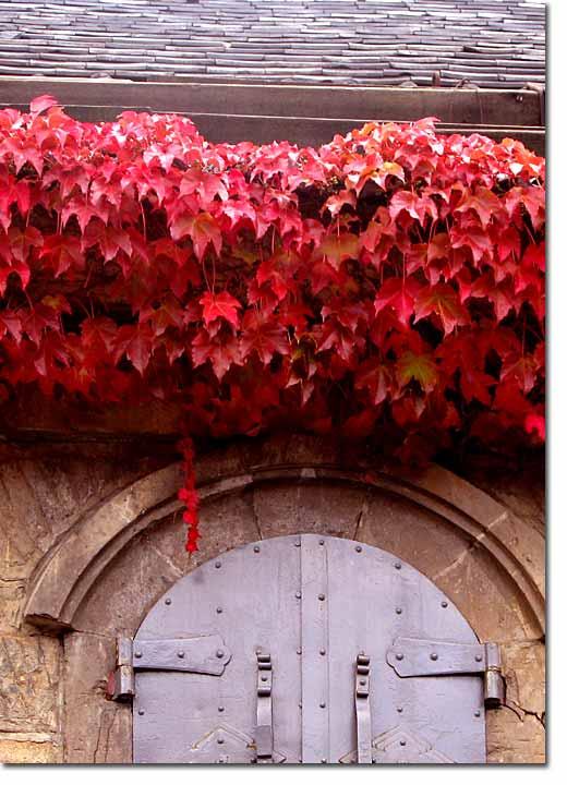 小樽運河プラザ中庭のツタの紅葉