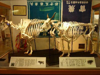 但馬牛骨格標本