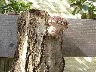 シイタケ原木