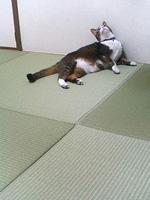 猫ちゃんと縁なし畳