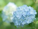 梅雨入り日の紫陽花
