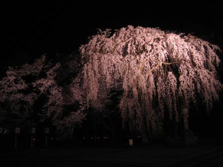 高田公園のしだれ桜