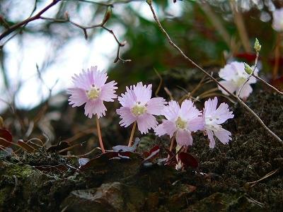 イワウチワ 2007/4/5 埼玉飯能