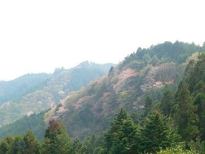 山を彩るヤマザクラ