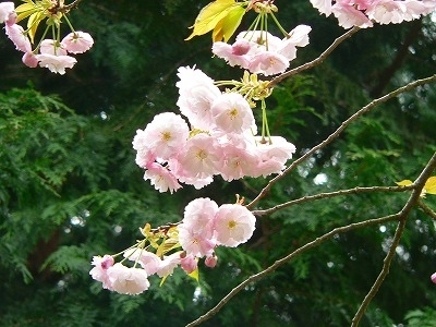 里桜フゲンゾウ