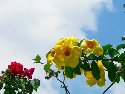バリ島の花の写真ー青空とアラマンダ