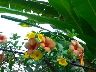 バリ島の花の写真ーオレンジ系アラマンダ
