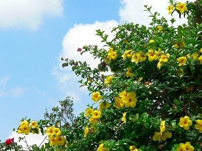 バリ島の花の写真ーアラマンダ