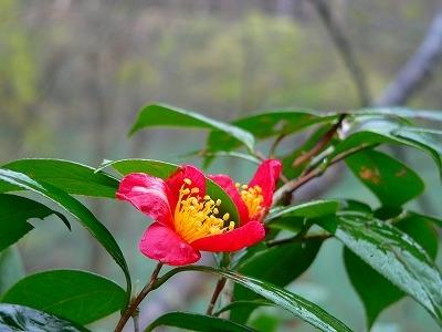 ユキツバキ咲くブナ林