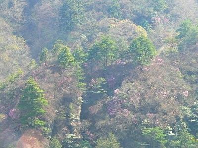 岩場のアカヤシオ