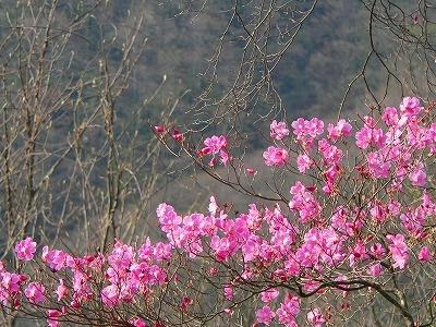 濃いピンクのアカヤシオ